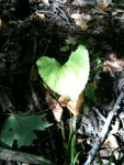 heart leaf found on hike - amidst decomposing ground cover sprouts life.